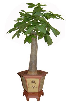 单支发财树