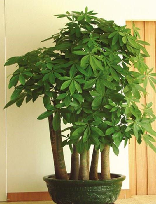 五支发财树